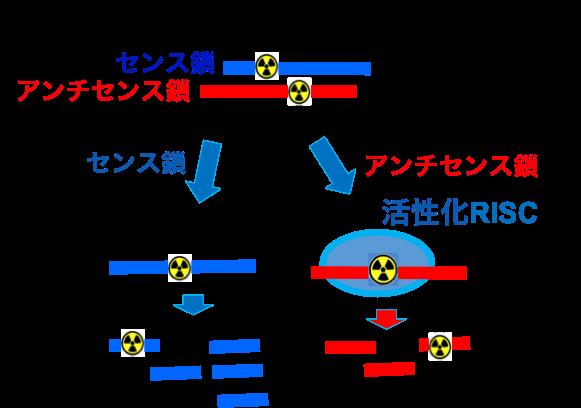 技術紹介|核酸医薬開発 RINAT Imaging